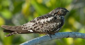 Turks and Caicos is home to Antillean Nighthawks