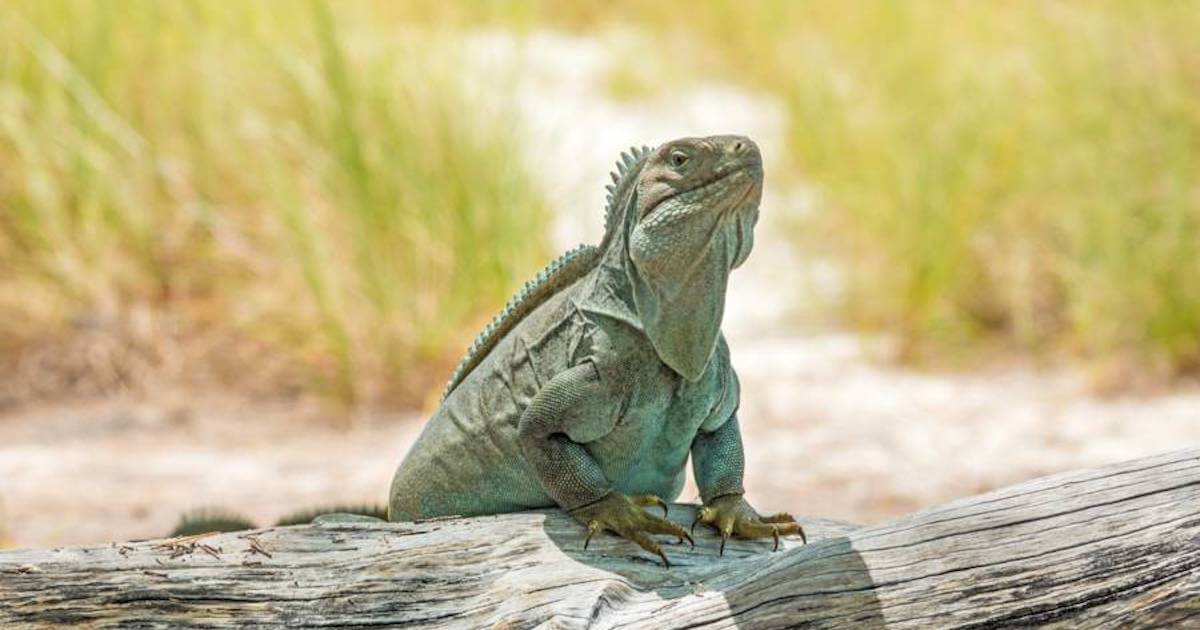 Turks and Caicos Rock Iguana