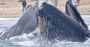 humpback whales performing bubble netting
