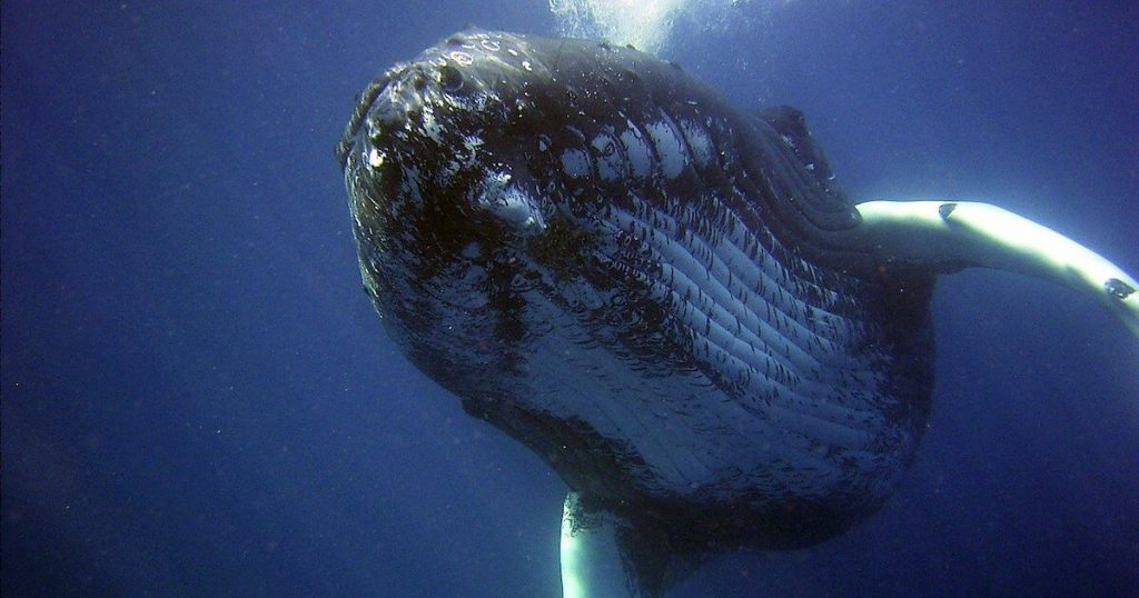 Something Big is on the Horizon: Whale Watching in Turks and Caicos